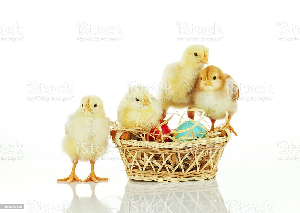 Basket with the Easter eggs and small chickens royalty-free stock photo