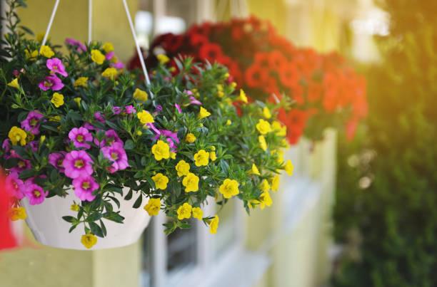 발코니에 피튜니아 꽃 매달려의 바구니. 장식용 식물의 페 툰 니 아 꽃. - 관상용 식물 뉴스 사진 이미지