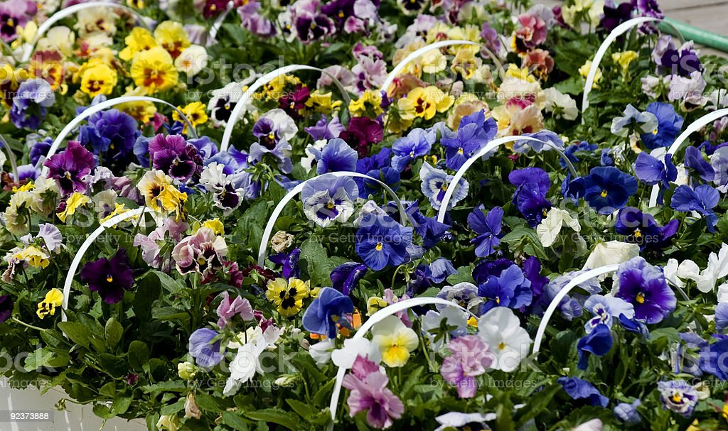 Baskets of Pansies royalty-free stock photo