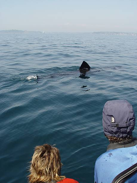 Basking shark at surface Basking sharke swimming at the the surface and being watched by divers.                                 basking shark photos stock pictures, royalty-free photos & images