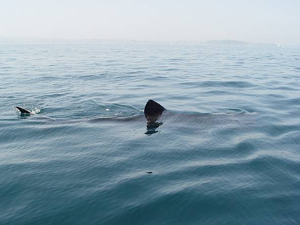Basking Shark Basking shark swiming at the surface.                      basking shark photos stock pictures, royalty-free photos & images