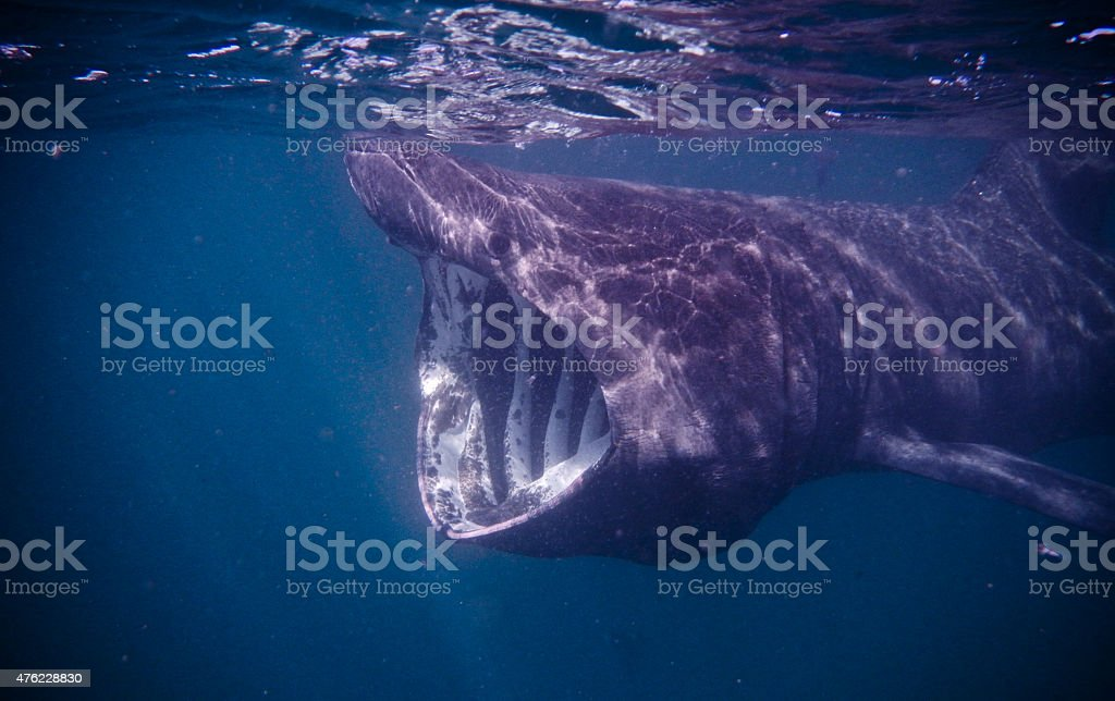 Basking Shark stock photo