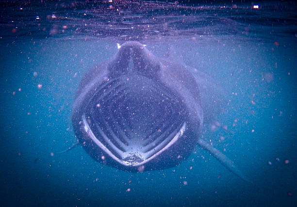 Basking Shark Underwater Feeding Basking Shark feeding on plankton during the bloom in the Scottish waters off the Isle of Coll. basking shark photos stock pictures, royalty-free photos & images