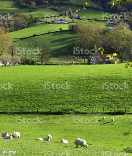 Kraj Basków - zdjęcia stockowe i więcej obrazów Owca