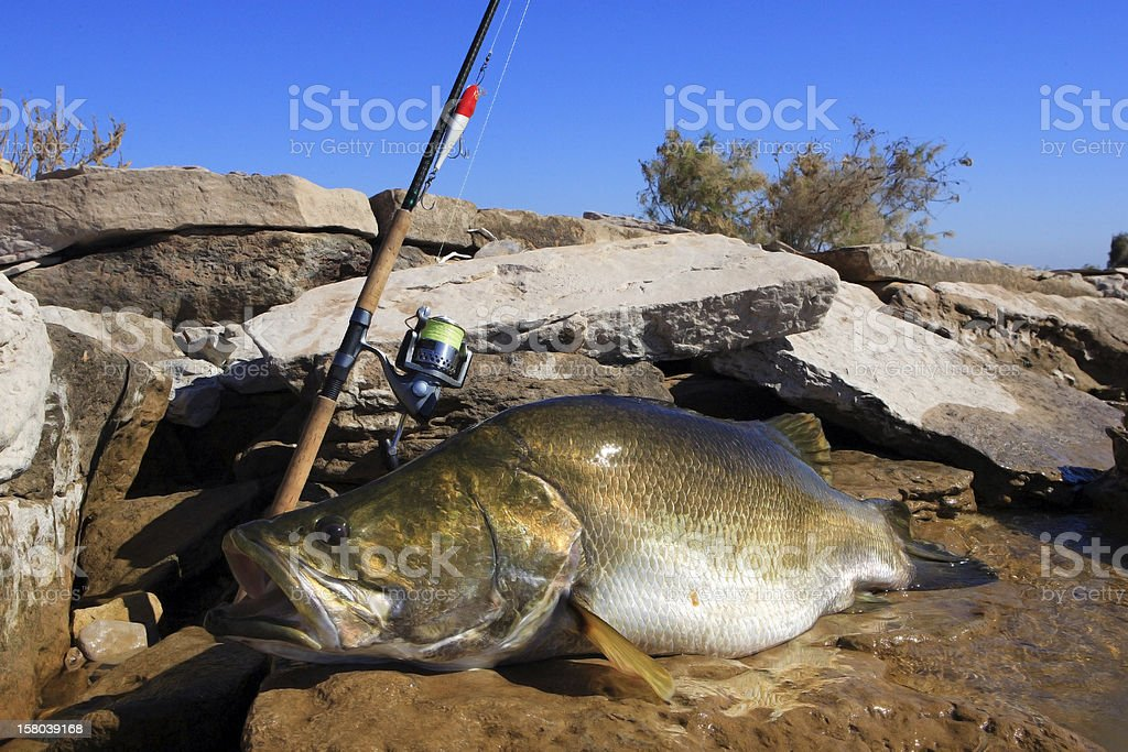 Bass Action - Large one with 57 lbs royalty-free stock photo