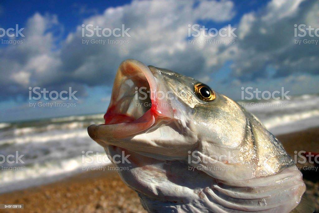 bass fish royalty-free stock photo