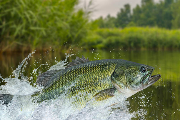 55 Largemouth Bass Wallpapers Background Stock Photos Pictures Royalty Free Images Istock