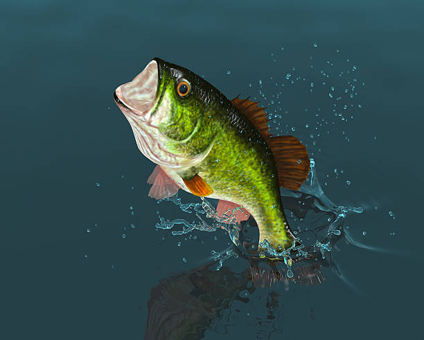 Best Largemouth Bass Stock Photos Pictures Amp Royalty Free Images Istock