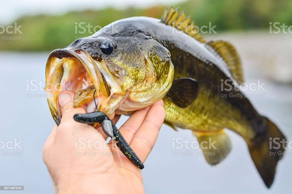 Bass with a lure in mouth stock photo