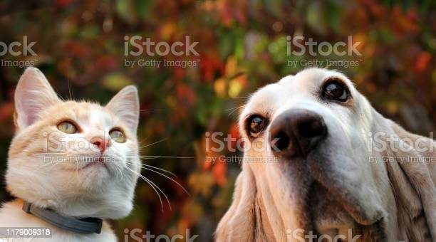 Basset hound and red cat on autumn background picture id1179009318?b=1&k=6&m=1179009318&s=612x612&h=28n65rq dlhsigmpwpco6mtt83plstr5nlfesruvavq=