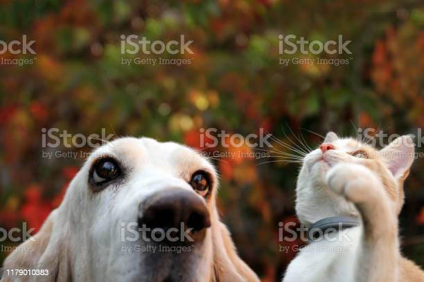 Basset hound and red kitten on autumn background picture id1179010383?b=1&k=6&m=1179010383&s=612x612&h=e7dexqzvnykcg431mahpw 7lrnam7tpdetw uxerszk=