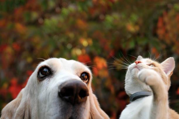 Basset hound and red kitten on autumn background picture id1179010383?b=1&k=6&m=1179010383&s=612x612&w=0&h=d6gqw1u1tt q4bl9er3ko0au20fpffpz7soqvwvsimq=