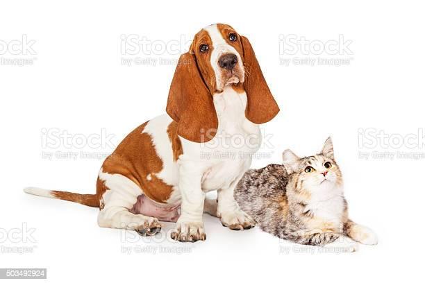 Basset hound dog and calico cat together looking up picture id503492924?b=1&k=6&m=503492924&s=612x612&h=wlu3ubr0zd wocmepi5eonwyrfpwfaykrtmve1tyala=