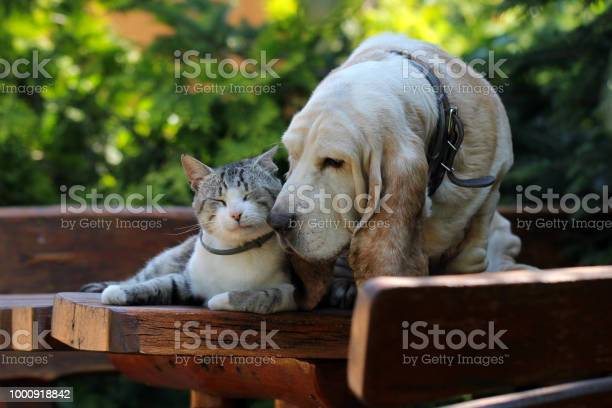 Basset hound dog and kitten friends picture id1000918842?b=1&k=6&m=1000918842&s=612x612&h=6 kz n9rlvmjesbp6kph1orncvgqkqk8dot87xusimw=