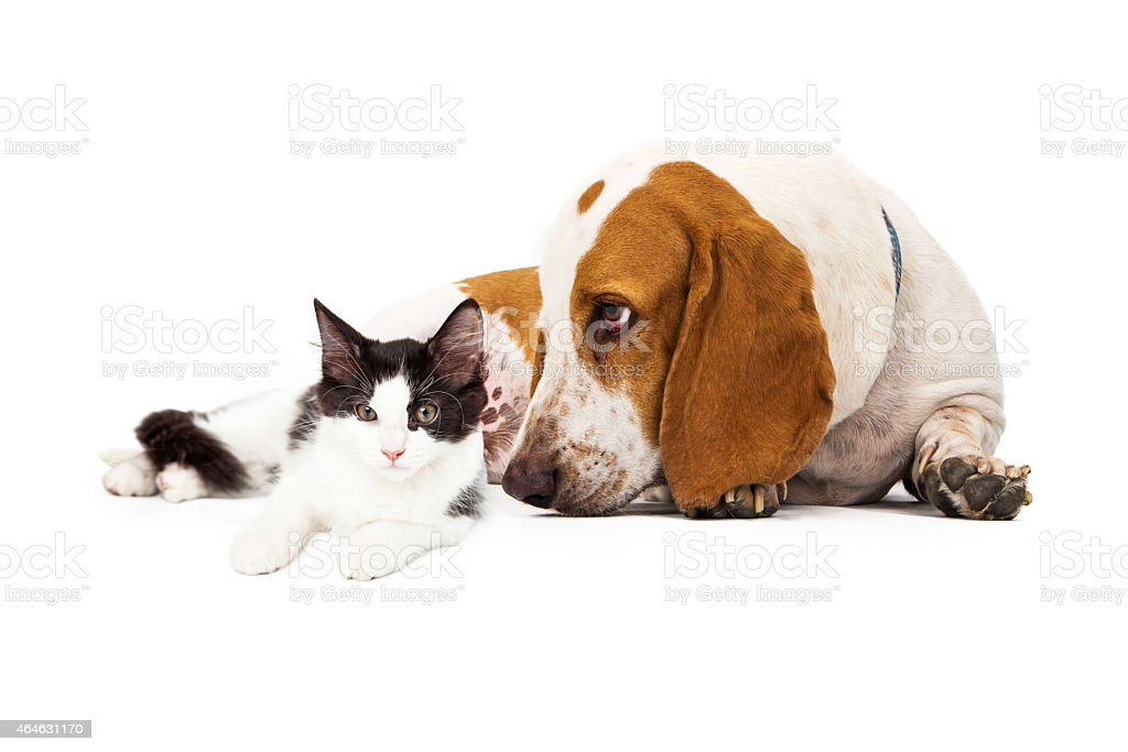 Basset Hound Dog And Kitten stock photo