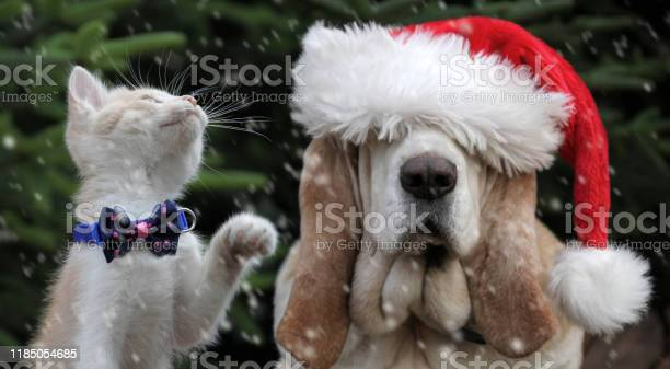 Basset hound dog with santa hat and kitten picture id1185054685?b=1&k=6&m=1185054685&s=612x612&h=rqu67zqnnew7ma03gdxscknts4ao4svrir7e4wicl2e=