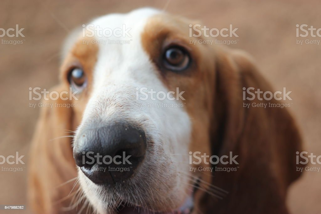 Basset hound face stock photo