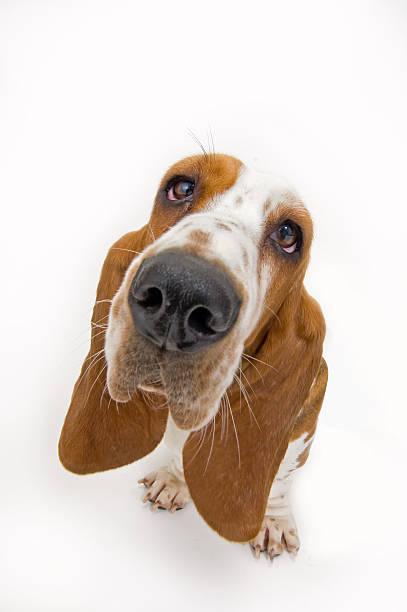 Basset hound looking up picture id106491764?b=1&k=6&m=106491764&s=612x612&w=0&h=zjjx7xncnh8fxapsw4fq9vvl00u0onalnuueuslkbns=