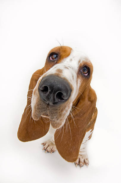 Basset Hound looking up  fish eye lens stock pictures, royalty-free photos & images