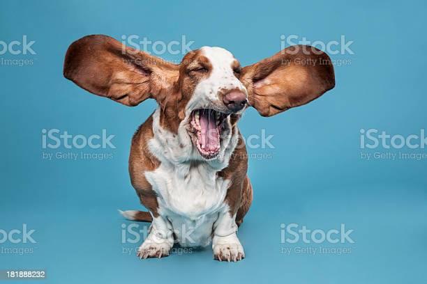 Basset hound picture id181888232?b=1&k=6&m=181888232&s=612x612&h=ss9kk10eypkkytjzw4lc3gjvyjdixdduf3ly81cqqew=