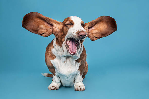 Basset hound stock photo