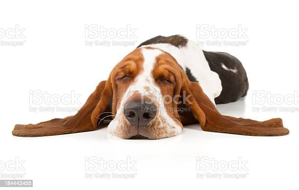 Basset hound picture id184443455?b=1&k=6&m=184443455&s=612x612&h=ualsoht1b8qr dovt djxoc1l7gqo nl6lsvrstlyvs=