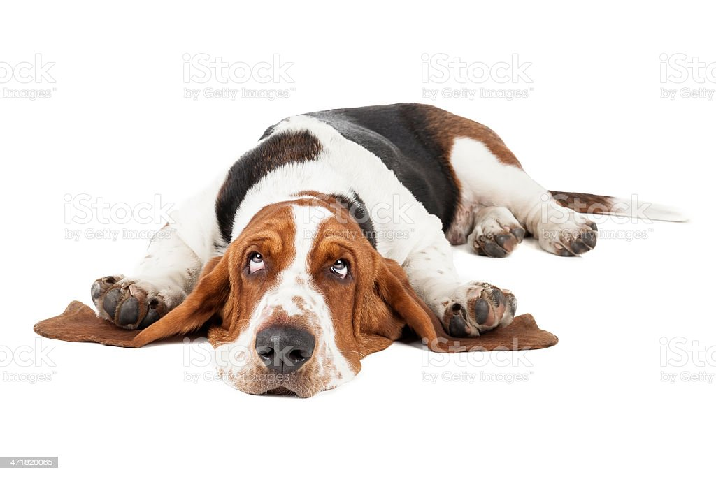 Royalty Free Basset Ho...