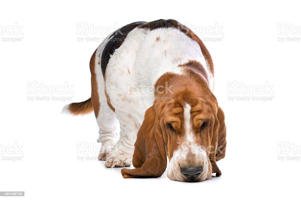 Basset hound - Photo