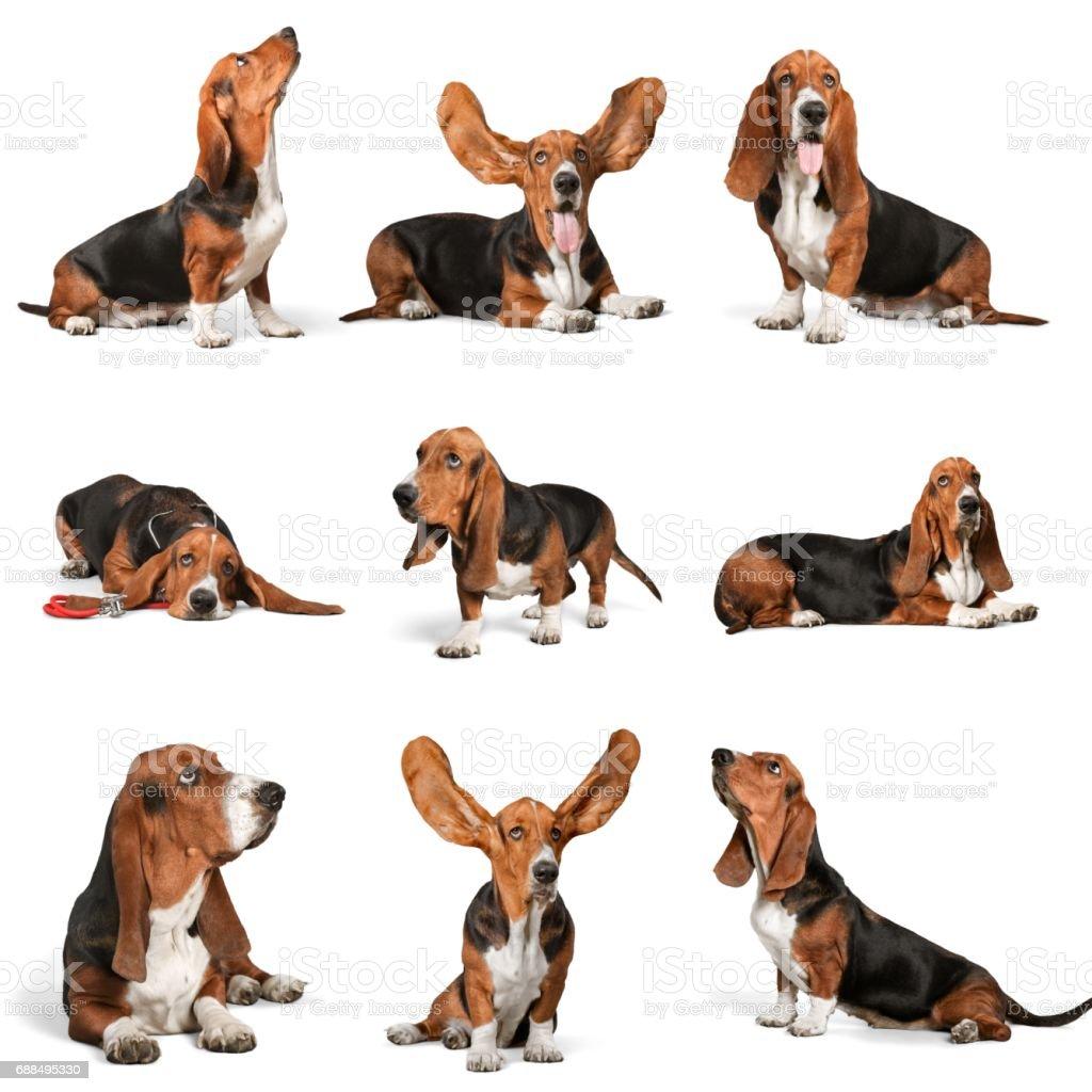 Basset hound. – zdjęcie
