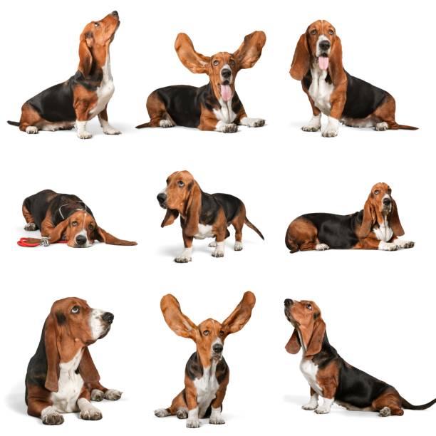 Basset hound. - foto de stock