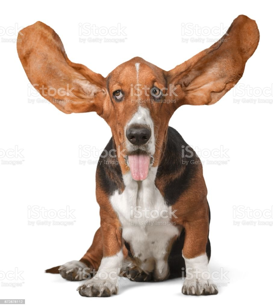 Basset hound. stock photo