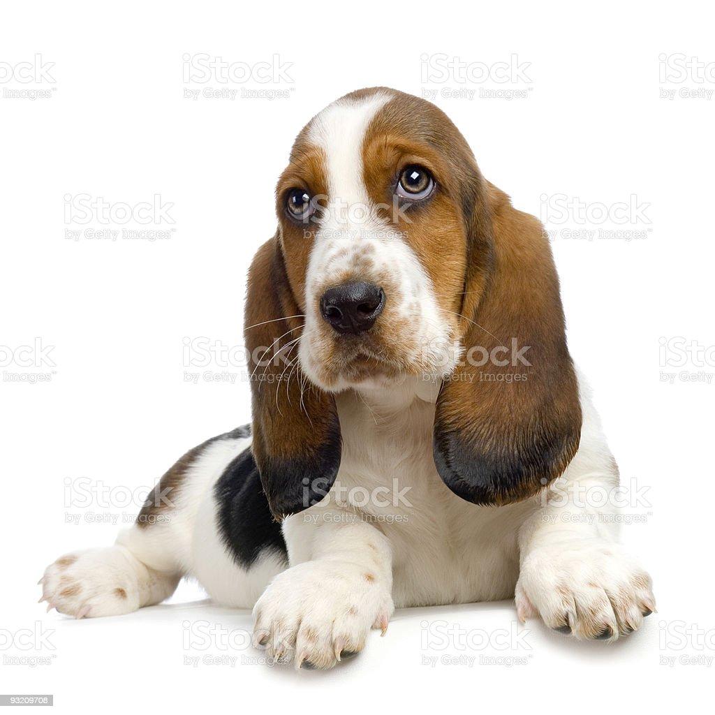 Basset Hound  Puppy -  Hush Puppies stock photo