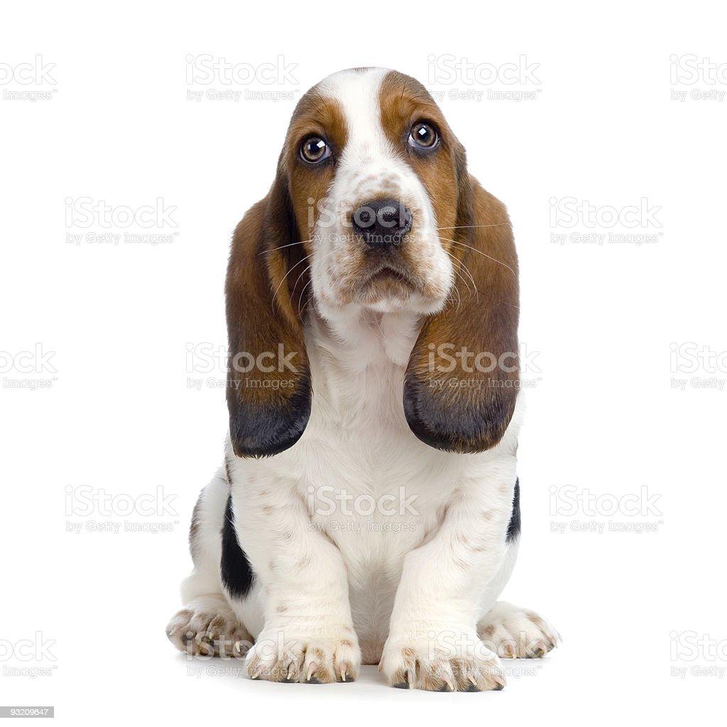 Basset Puppy — Smażone kulki kukurydziane – zdjęcie