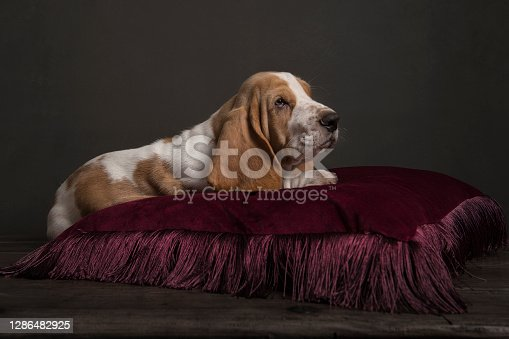 Basset hound puppy lying on a red pillow in a still life ambiance