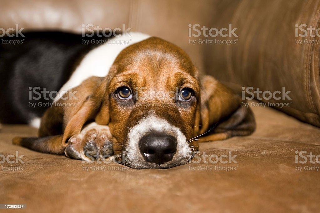 Basset Hound Puppy stock photo