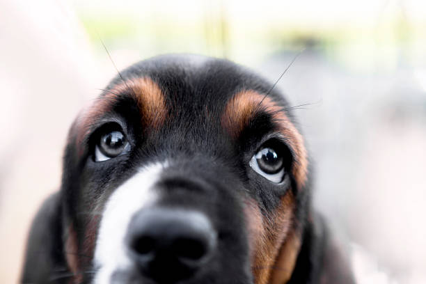 basset hound puppy - hundeaugen stock-fotos und bilder