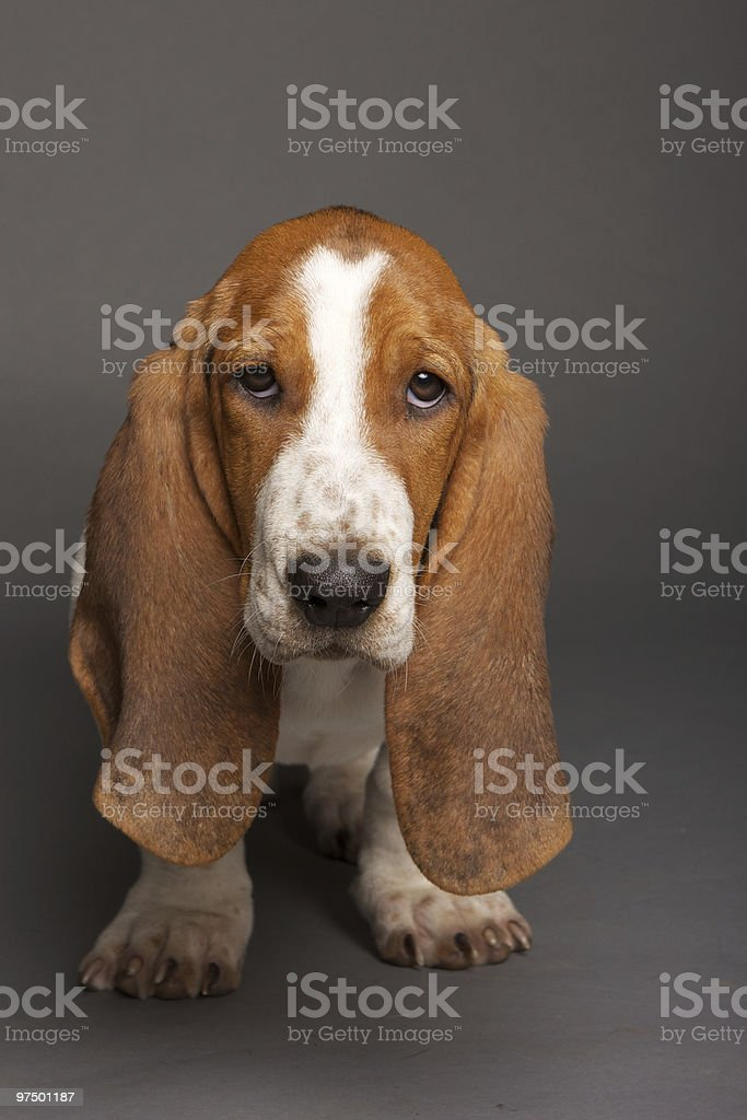 Basset Hound puppy royalty-free stock photo