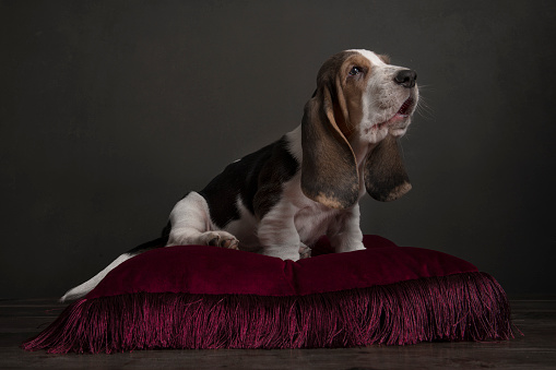 Basset hound puppy sitting on a red pillow in a still life ambiance