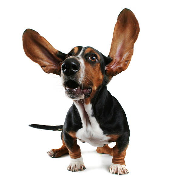 Basset hound puppy with ears flapping on white background  stock photo