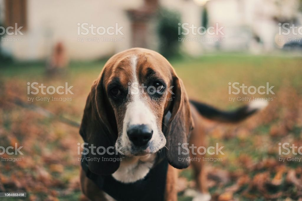 Basset Hound pure breed dog sitting stock photo