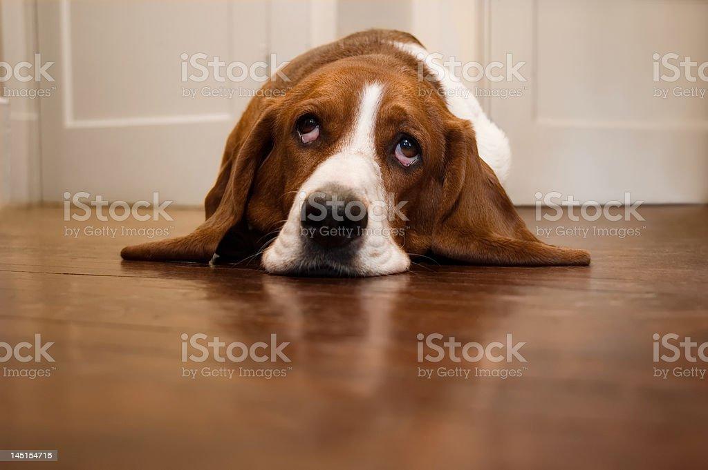Basset Hound Rolling Its Eyes stock photo