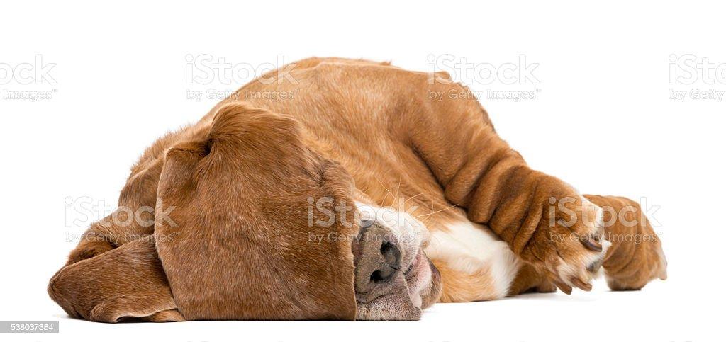 Basset Hound sleeping with its ears hiding its eyes, – zdjęcie
