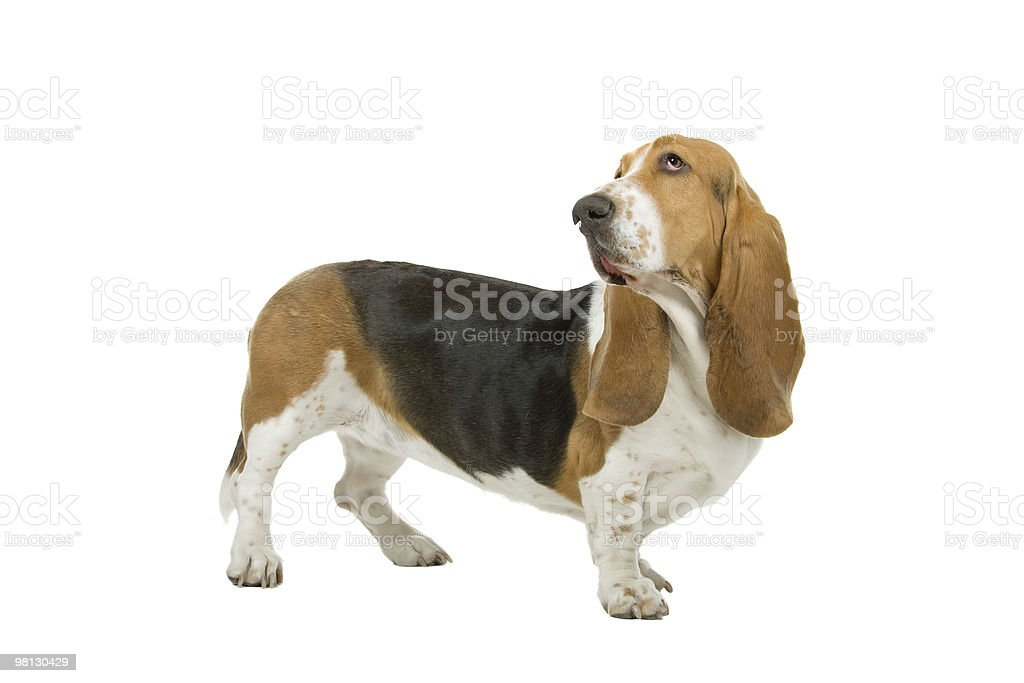 Basset hound sniffing the air on a white background stock photo