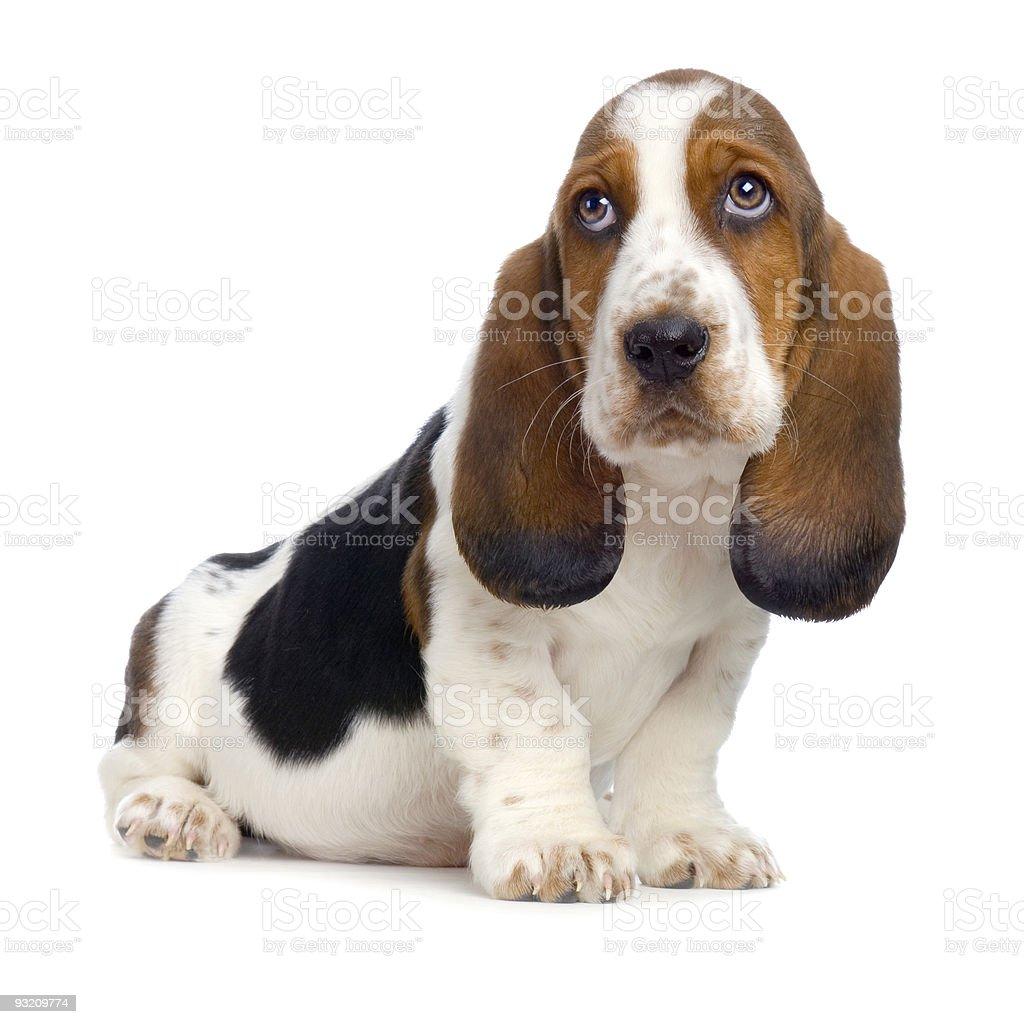 A basset puppy dog looking sad stock photo
