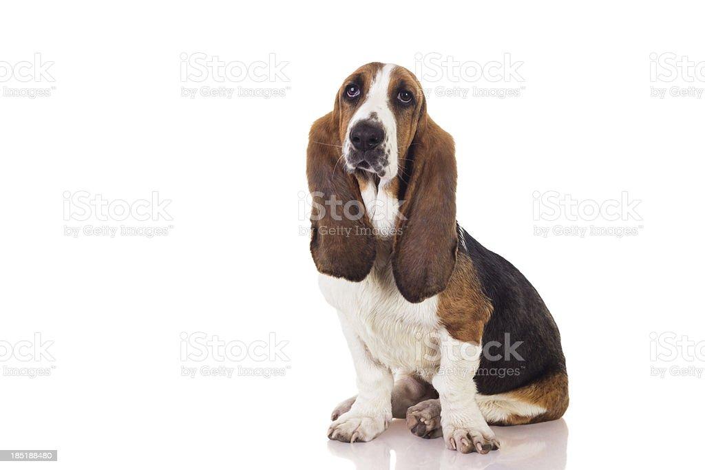Basset puppy stock photo