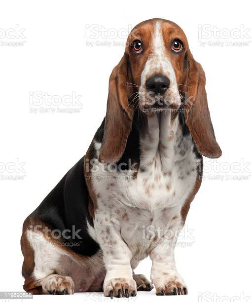 Bassett Hound 6 Years Old Sitting White Background Stock Photo - Download Image Now