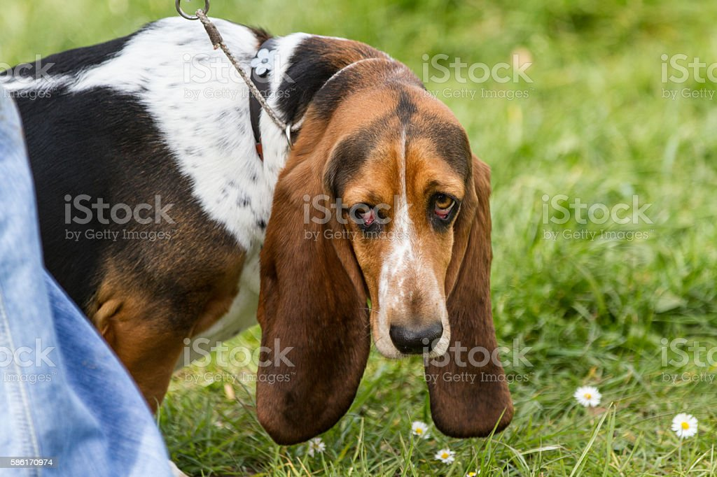 Bassett Hound dog on a lead looking sad stock photo
