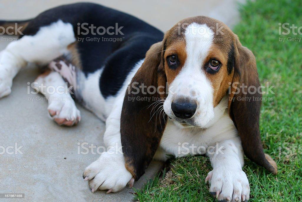 Bassett Pies gończy – zdjęcie