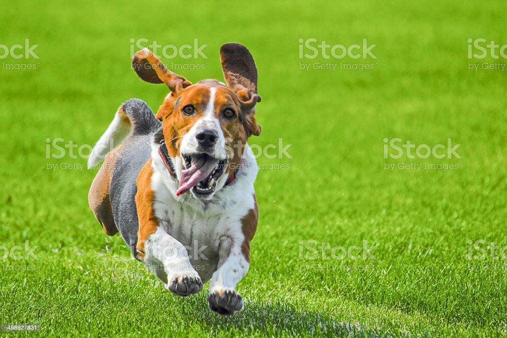 Bassett biegania – zdjęcie