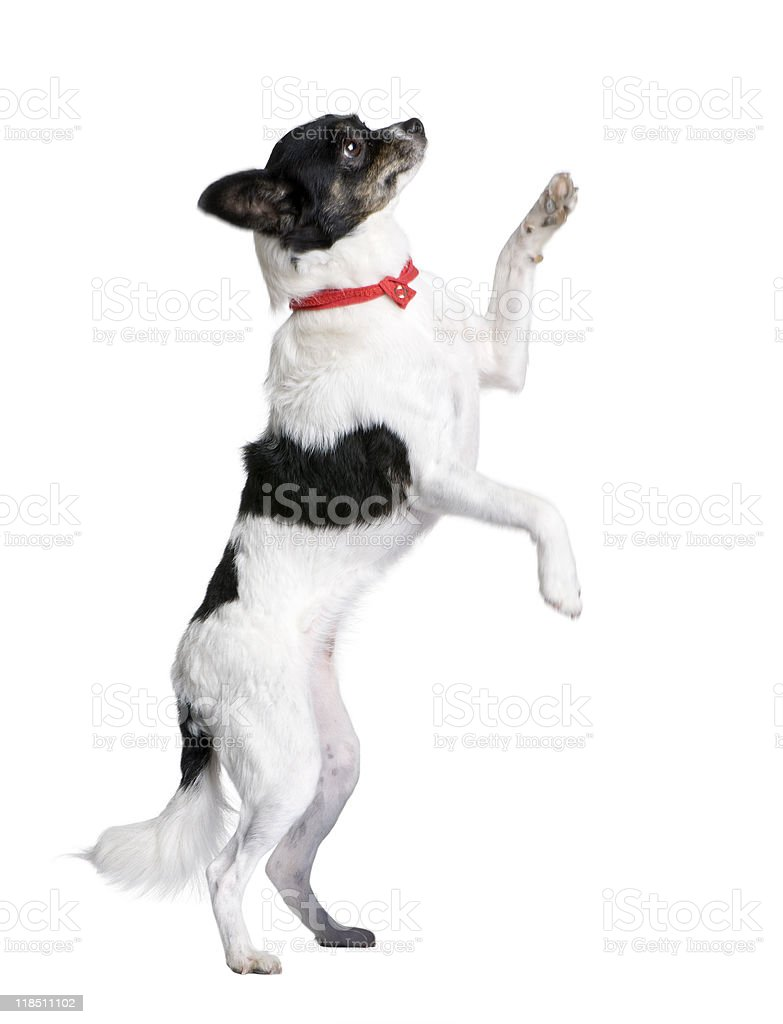 Bastard dog in red handkerchief walking on hind legs royalty-free stock photo